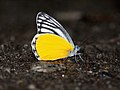 Close wing position of Delias agostina Hewitson, 1852 – Yellow Jezebel 2.jpg
