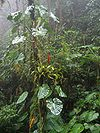 Cloud forest panama 2.jpg