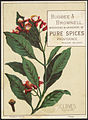 Cloves, Myrtaceae - Bugbee & Brownell, importers & grinders of pure spices, Providence, Rhode Island front.jpg
