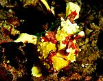 Clown frogfish.jpg
