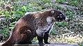 Coati mundi -- racoon family (24025113273).jpg