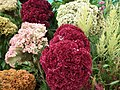 Cockscomb from Lalbagh flower show Aug 2013 8434.JPG