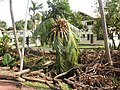 Coconut Tree Damaged After Typhoon Nesat (6210325344).jpg