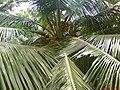 Coconut mangavilai sour.JPG