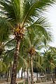 Coconut palms (25819100123).jpg