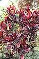 Codiaeum variegatum 40zz.jpg