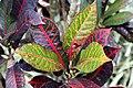 Codiaeum variegatum 42zz.jpg