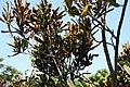 Codiaeum variegatum Red Tortulas 3zz.jpg