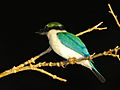 Collared Kingfisher (Todiramphus chloris) (15851804032).jpg