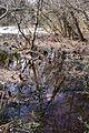 Colony of Eastern Skunk Cabbage in Imazu Takashima Shiga pref06bs1980.jpg
