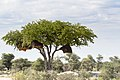 Colophospermum mopane - Mopane-2266 - Flickr - Ragnhild & Neil Crawford.jpg