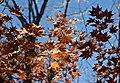 Colored Maple leaves - Flickr - odako1 (2).jpg