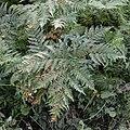Common Bracken (Pteridium aquilinum) - Oslo, Norway (01).jpg