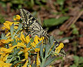 Common Yellow Swallowtail - Papilio machaon I IMG 6963.jpg