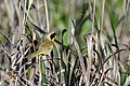 Common Yellowthroat - Flickr - GregTheBusker (1).jpg