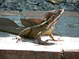 Common basilisk in Costa Rica.jpg
