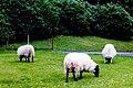 Connemara - Kylemore Abbey - Sheep at the Chapel - geograph.org.uk - 1630214.jpg