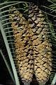 Cons d'Encephalartos senticosus.JPG