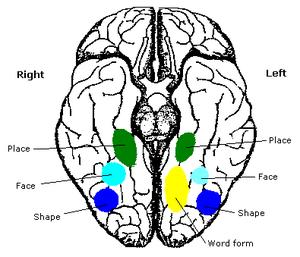 Fusiform face area - Human brain, bottom view. Fusiform face area shown in bright blue.