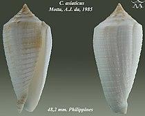 Conus asiaticus 1.jpg