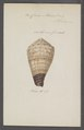 Conus miles - - Print - Iconographia Zoologica - Special Collections University of Amsterdam - UBAINV0274 086 08 0011.tif
