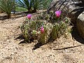 Coonly Garden, Echinocereus engelmannii, Needle Spine Hedgehog, Spring at Mayo Clinic Phoenix2013 - panoramio.jpg