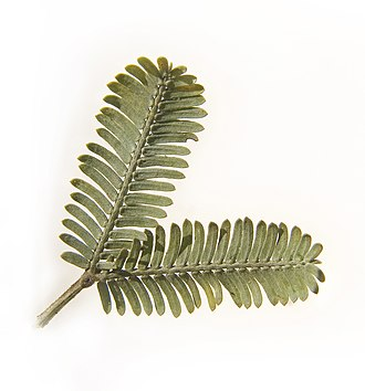 Acacia baileyana - Image: Cootamundra wattle leaves 2