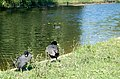 Coots in Regents Park - geograph.org.uk - 1370431.jpg