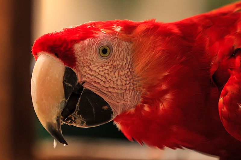 File:Copan birds and wildlife-Scarlet Macaw (6995983203).jpg