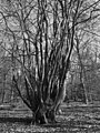 Coppiced beech, Hodgemoor Wood - geograph.org.uk - 1737225.jpg