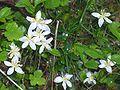 Coptis trifolia (L.) Salisb01.jpg