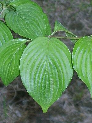 Cornus officinalis - Image: Cornus officinalis 02