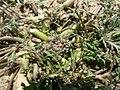 Coronopus squamatus plant (09).jpg
