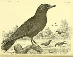 English: Corvus brachyrhynchos (American crow)...