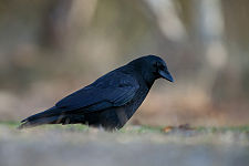 Dospělý pták