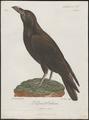 Corvus major - 1796-1808 - Print - Iconographia Zoologica - Special Collections University of Amsterdam - UBA01 IZ15700213.tif