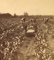 Cotton field, by J. A. Palmer 9.png