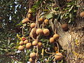 Couroupita guianensis fruits.JPG