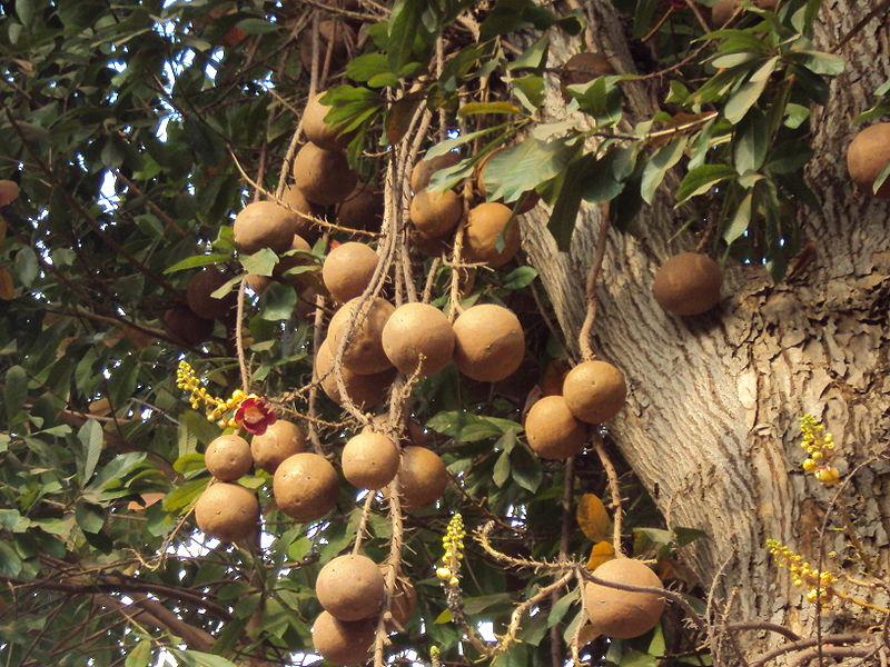 File:Couroupita guianensis fruits.JPG