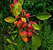 Crabapples (Southeast Michigan).JPG