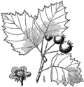 Crataegus beata.png