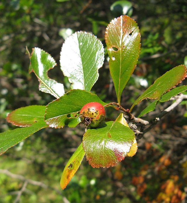 fruit et feuilles de l'aubepine ergot de coq en octobre