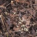 Crematogaster scutellaris, Vic-la-Gardiole 07.jpg
