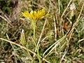 Crepis setosa inflorescence (13).jpg
