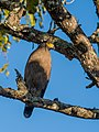 Crested Serpent Eagle (24169715705).jpg
