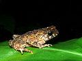 Crested Toad (Ingerophrynus divergens) (8440084623).jpg