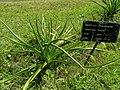 Crinum mauritianum 2019-09-27 2.jpg