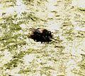 Criorhina ranunculi (male) - Flickr - S. Rae (5).jpg