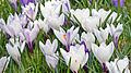 Crocus Flower 3312.jpg