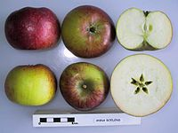 Cross section of Anna Boelens, National Fruit Collection (acc. 1945-077).jpg